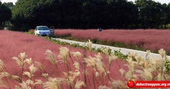 Cánh đồng cỏ hồng đẹp như mơ tại Thượng Hải