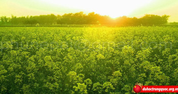 Những cánh đồng hoa cải vàng rực rỡ tại Trung Quốc