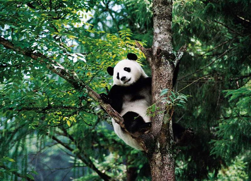 Tứ Xuyên- quê hương của những bạn Gấu Trúc xinh đẹp.